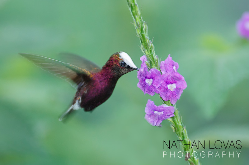 Snowcap Hummingbird feeding;  Costa Rica.