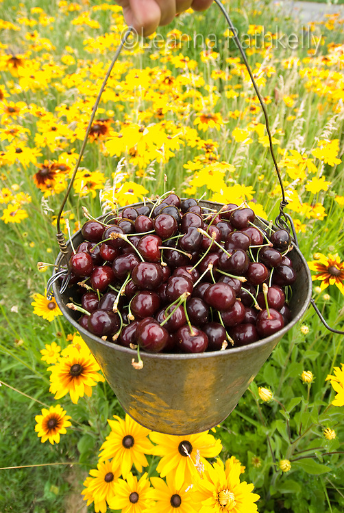 Ripe cherries are freshly picked from the orchard, and displayed against a backdrop of garden flowers.
