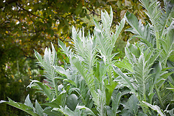 Cynara cardunculus - Globe artichoke