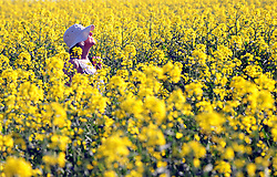 April 19, 2018 - Kent, kent, UK - CHELSFIELD, UK..Hot weather..A bright yellow rapeseed field in Chelsfield,Kent . Today is set to be the hottest day of the year. (Credit Image: © Grant Falvey/London News Pictures via ZUMA Wire)