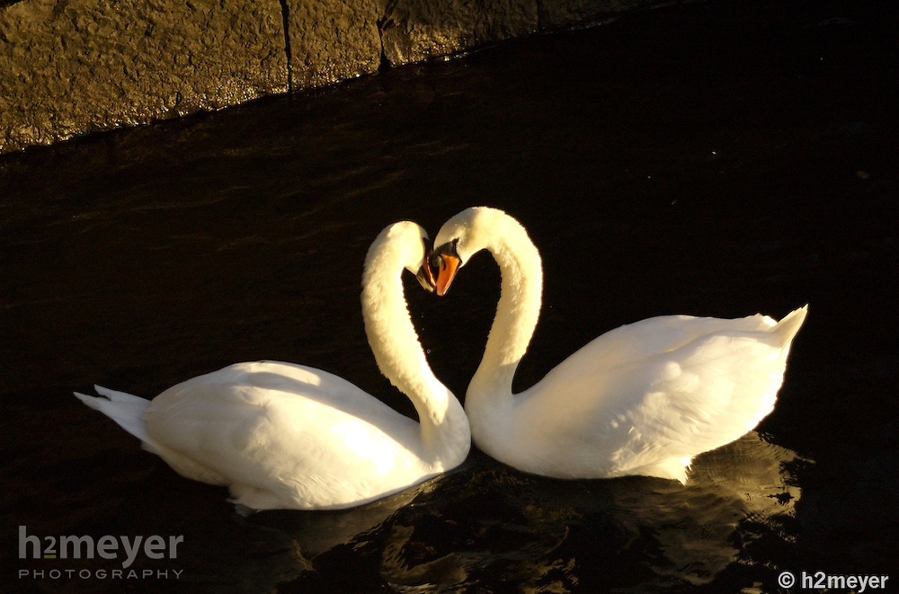 The rising sun on Galway's Claddagh Quay brings two swans together to make a heart shaped kiss.