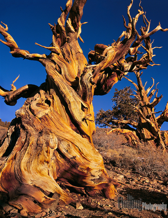 The Ancient Bristlecone Pine Forest is home to the oldest trees in the world, Bristlecone Pines. Some of these living trees exceed 4000 years of age.