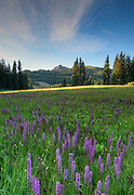 Elephant heads bloom in an alpine meadow near Elwood Pass in the South San Juan Mountains,Colorado