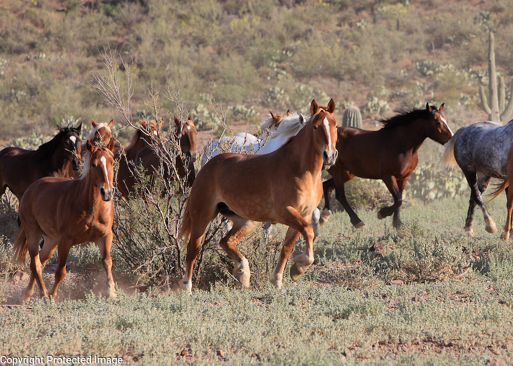 Wild horses moving across green desert of Arizona