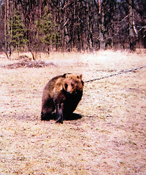 Rescued  - Masha the brown bear. <br /> Masha the brown bear rescued from a group of mafia who ran a bear baiting tournaments, Ukraine, Monday, 2nd September 2013. Picture by Roger Allen / i-Images