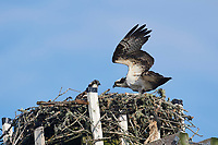 Osprey (pandion haliaetus) sitting at nest on an artificial platform,  Petite Riviere, Nova Scotia, Canada,