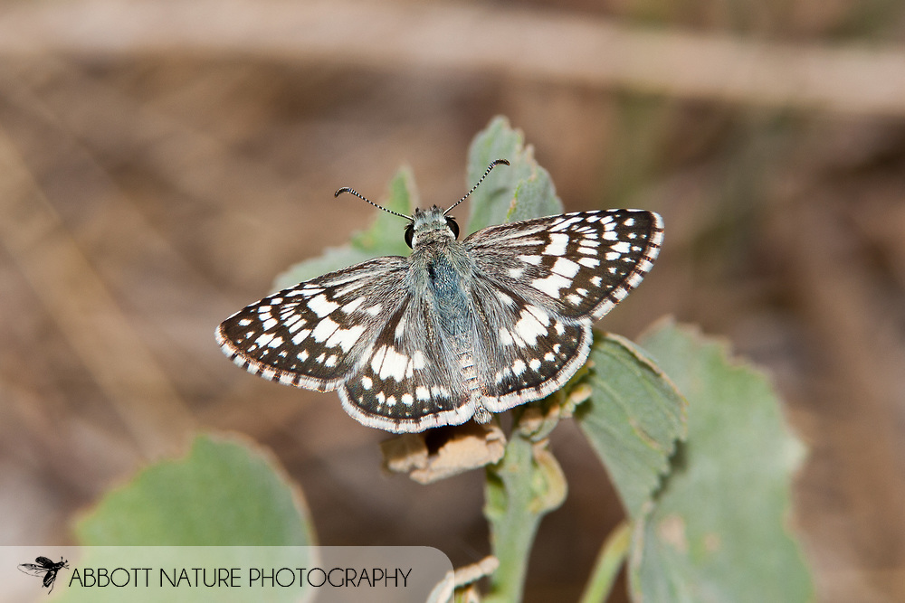 Common Checkered Skipper (Pyrgus communis)<br /> TEXAS: Bexar Co.<br /> Government Canyon State Natural Area<br /> 25-June-2011<br /> J.C. Abbott &amp; K.K. Abbott