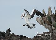 A Nazca booby lands on Genovesa island in the Galapagos, Ecuador.