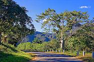 Ceiba tree in the San Carlos area, Pinar de Rio, Cuba.