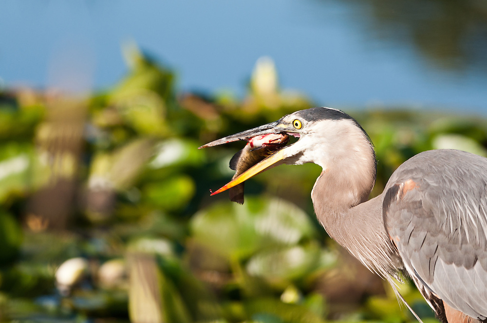 A Great Blue Heron swallows a fish it caught at the Union Bay Natural Area, on Lake Washington, Seattle, Washington.