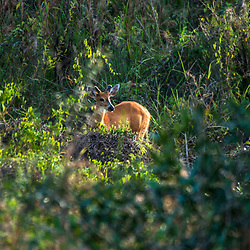 """Cervo-do-pantanal (Blastocerus dichotomus) fotografado em Corumbá, Mato Grosso do Sul. Bioma Pantanal. Registro feito em 2017.<br /> <br /> ENGLISH: Marsh deer photographed in Corumbá, Mato Grosso do Sul. Pantanal Biome. Picture made in 2017."""