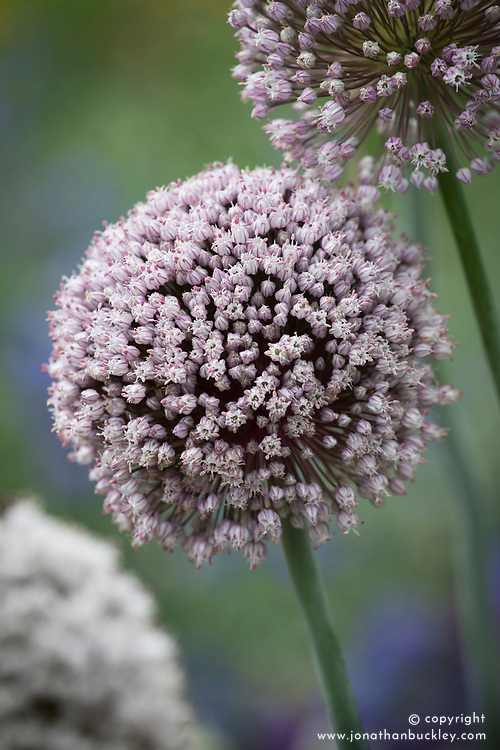 Leek 'St. Victor' in flower. Allium porrum