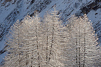 24.11.2008.European Larch (Larix decidua)..Gran Paradiso National Park, Italy