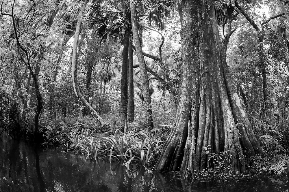 Loxahatchee River in Jupiter, Florida, United States, a nearly 8-mile river that flows into the Atlantic Ocean and was designated a National Wild & Scenic River in May 17, 1985.