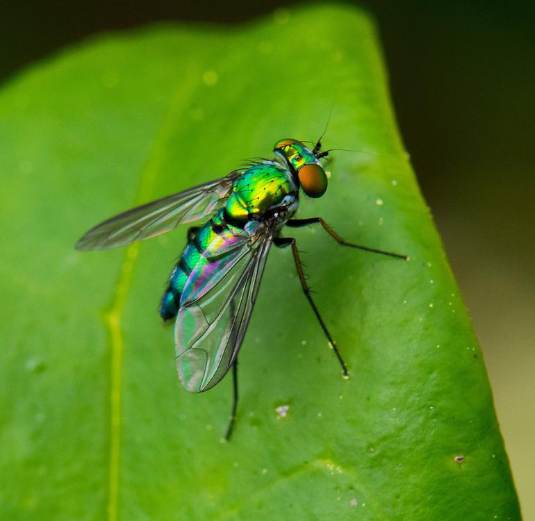 Long-legged Fly, Condylostylus  sp.;<br /> Photographer:  John Foester <br /> Property:  Louis J Foester III Estate Ranches / John, Dawn, Marc &amp; Shirley Foester<br /> Calhoun/Karnes County
