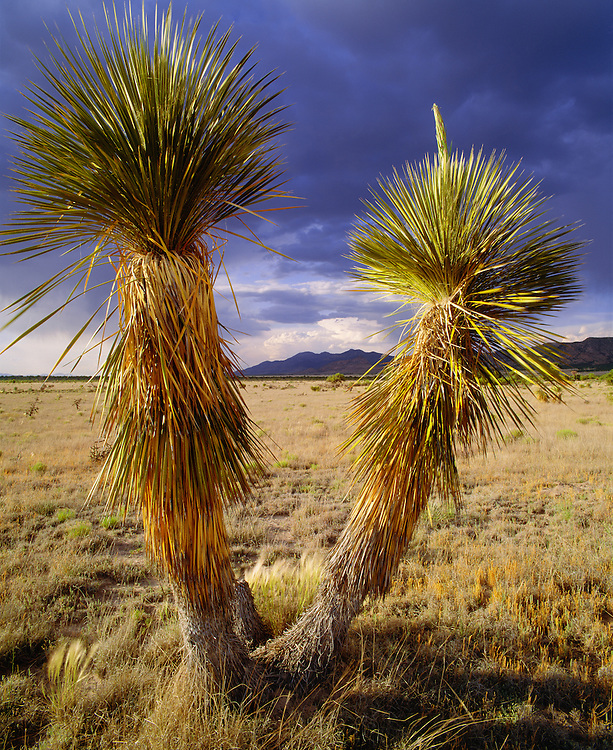 0254-1000B ~ Copyright:  George H. H. Huey ~ Soaptree yucca [Yucca elata] with the Animas Mountains in distance, and approaching storm.  The Gray Ranch, New Mexico.