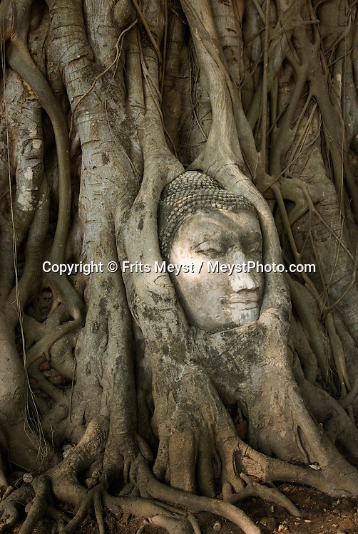 Ayuthaya, Thailand, April 2007. Wat Phra Mahathat and its famous overgrown Buddha head. Once the Siamese royal capital, Ayuthya is home to some of thailands best known ancient buddhist temples. The ruins of many temples are even today an impressive sight. Photo by Frits Meyst/Adventure4ever.com