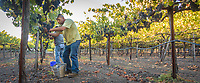 Daniel and Geraldo Alfaro hand harvest grapes at Marcey's Vineyard on a beautiful evening in Calistoga.