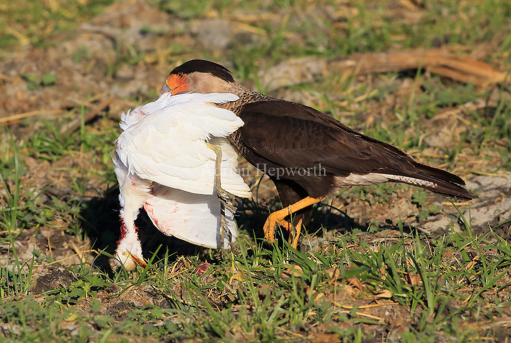 Crested Caracara (Caracara cheriway) carrying dead juvenile Great Egret (Ardea alba) near lagoon in Palo Verde National Park, Guanacaste, Costa Rica. <br />