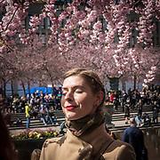 Körbärsträden står i blom.