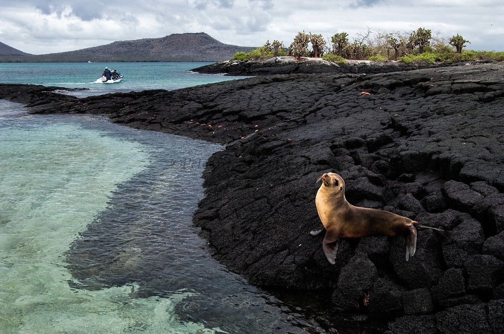Galapagos Sealion (Zalophus wollebaeki)<br /> Floreana Island, GALAPAGOS ISLANDS<br /> ECUADOR.  South America<br /> There are approximately 16,000 individuals in the archipelago and numbers are increasing. Males are much larger than females, weighing up to 250kg compared with 100kg in the females. They spend a large amount of time hauled up on sandy beaches. The males establish territories which are savegely defended from rivals. Young bachelors and unsuccessful bulls then leave the area and establish bachelor colonies on the outskirts of female haul-outs. Reproduction occures mainly in the Garua season between July and December and will vary from Island to Island. Sealions are highly thigmotactic (seeking body contact) and loaf around in piles on the beaches. They are extremely efficient hunters, preferring sardines to other fish, so spend a considerable time resting or at play. Underwater they are well streamlined, lithe and acrobatic.