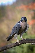 Peregrine Falcon (Falco peregrinus) portrait, Captive.