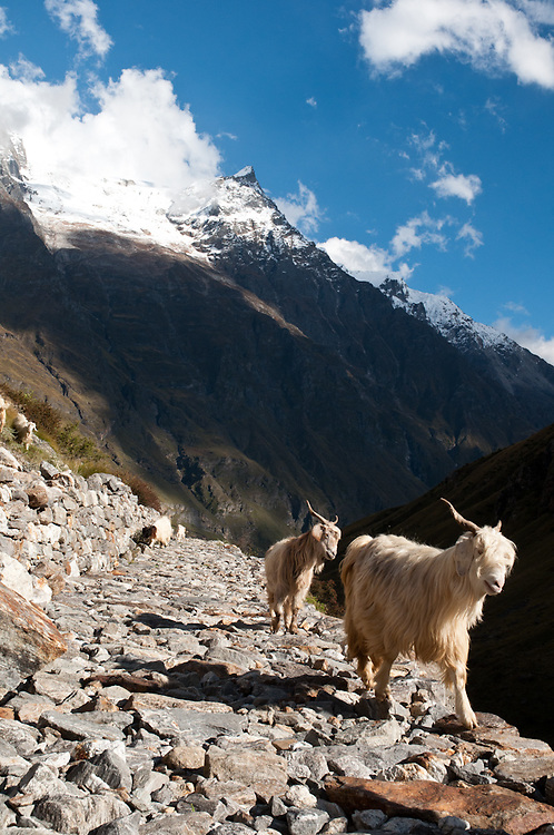 Goats in the mountains of Garhwal near the source of the Alaknanda River