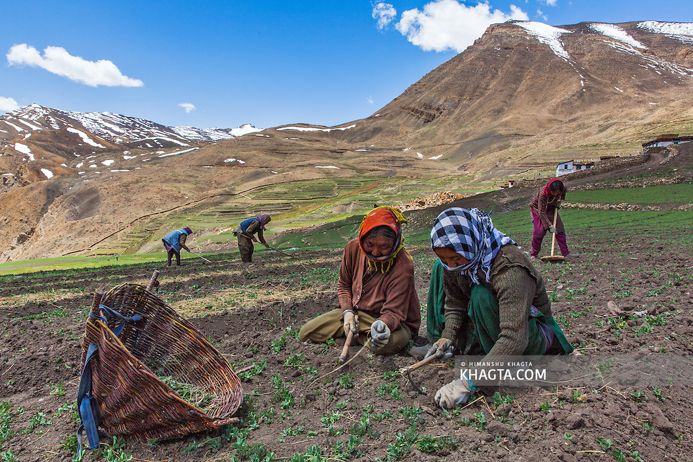 Women from Demul village in Spiti valley, working in their pea farms.