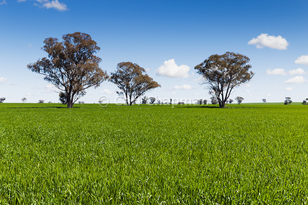 Trees in field of green early wheat crop under cumulus clouds near Lockhart, New South Wales, Australia