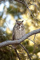 Last days of October finds this western Wyoming Great Horned Owl resting among the pine trees next to a small stream.
