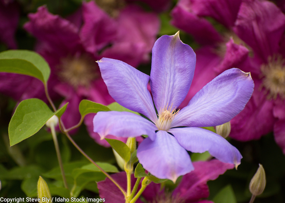 Flowers, Lavendar Clematis with blurred floral background. USA