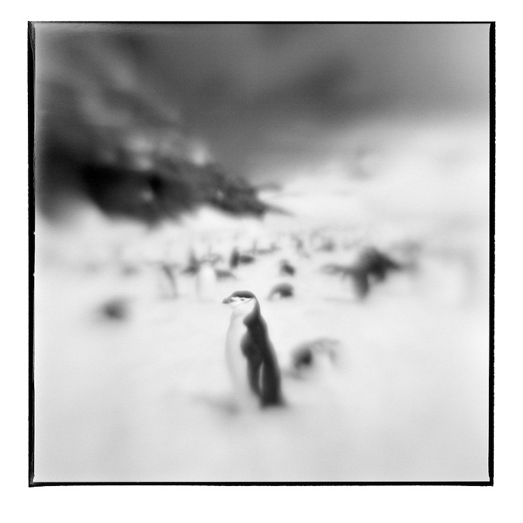 Antarctica, Deception Island, Blurred black and white image of Chinstrap Penguins in snow on sunny spring afternoon