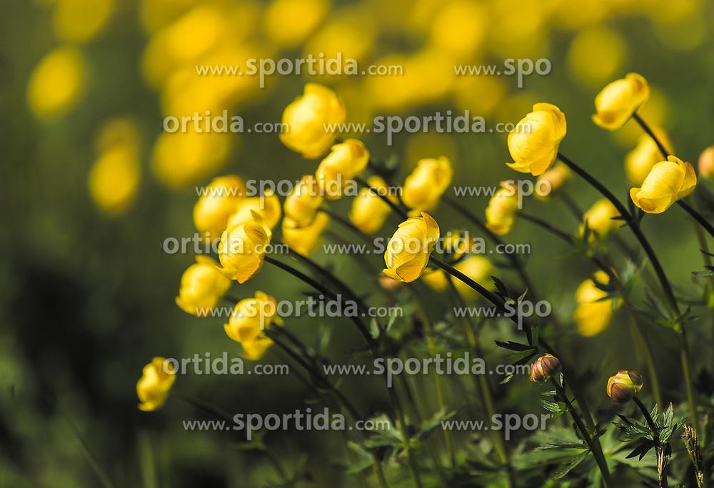 THEMENBILD - Dotterblumen (Caltha) sind eine Pflanzengattung aus der Familie der Hahnenfußgewächse (Ranunculaceae). Die runden Blütenköpfe strahlen in kräftigem gelb, aufgenommen am 23. Mai 2019, Kaprun, Österreich // Yellow marigolds (Caltha) are a plant genus of the Ranunculaceae family. The round flower heads shine in strong yellow on 2019/05/23, Kaprun, Austria. EXPA Pictures © 2019, PhotoCredit: EXPA/ Stefanie Oberhauser