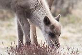 Reindeer calves - reinkalv