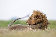 Liegendes und mit dem Schwanz schlagendes Loewenmaennchen  (Panthera leo) des Busanga Prides während der Dämmerung in der Busanga Plain im Kafue Nationalpark in Sambia beim Übergang zwischen Trockenzeit und Regenzeit. Der Löwe (Panthera leo, veraltet/poetisch Leu) ist eine Art der Katzen. Er lebt im Unterschied zu anderen Katzen in Rudeln, ist durch die Mähne des Männchens gekennzeichnet und ist heute in Afrika sowie im indischen Bundesstaat Gujarat beheimatet.