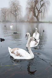 ©Licensed to London News Pictures 01/01/2020<br /> Sidcup ,UK. Swans on the river Cray. New years day foggy weather at Footscray Meadows in Sidcup, South East London this morning.Photo credit: Grant Falvey/LNP
