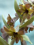 Fritillaria sewerzowii - fritillary