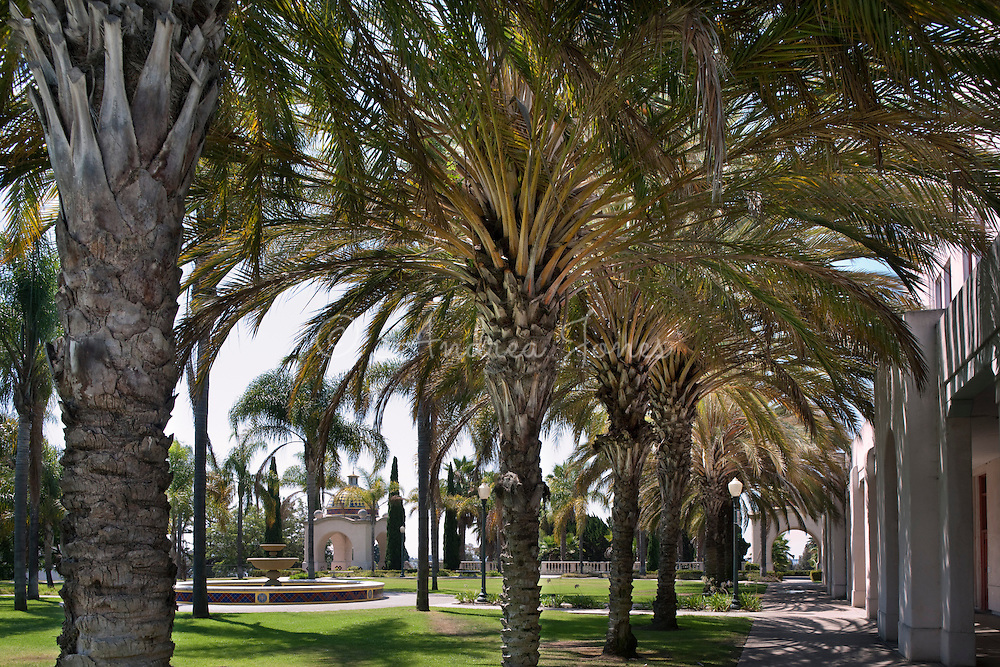 Phoenix dactylifera (Date palm) in the Balboa Park Administrative Building Courtyard, Balboa Park, San Diego, CA.