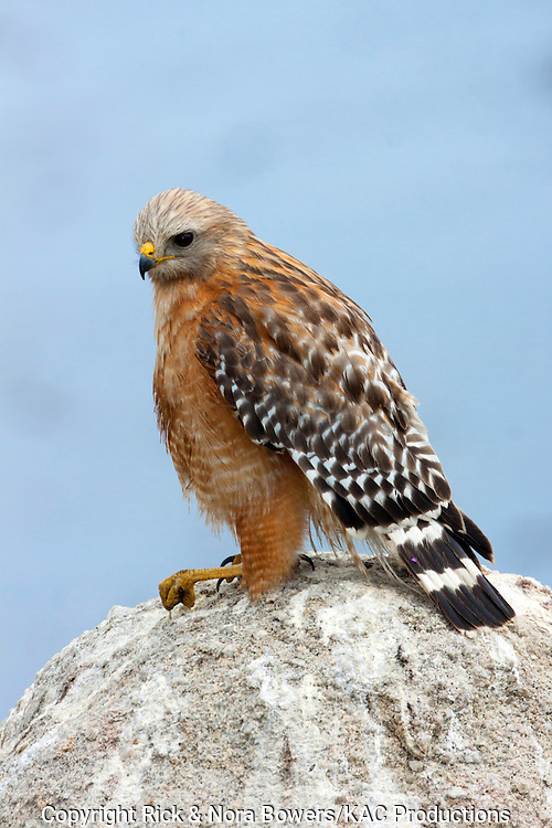 Red-shouldered Hawk <br /> Buteo lineatus <br /> Pacific Grove, California, United States<br /> 23 June      Adult      Accipitridae