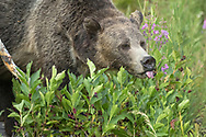 Berries are an important food source for bears in late summer. Some of the most common berries that grow in the Greater Yellowstone Ecosystem include, huckleberries, whortleberries, chokecherries, hawthorn berries, buffaloberries and snowberries.