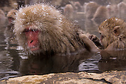 Japanese Macaques (snow monkeys) at the Yudanaka hot spring in the Nagano mountains, in the middle of winter.