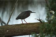 Green Heron (Butorides virescens)<br /> Little St Simon's Island, Barrier Islands, Georgia<br /> USA