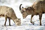 A bighorn lamb finds an easy meal under thin snow as an older sheep keeps a watchful eye on the youngster Sunday as they graze on the National Elk Refuge.