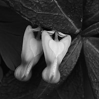 Black and white close-up of young dutchman's breeches (Dicentra cucullaria) and leaves, Great Falls National Park, Great Falls, Virginia.