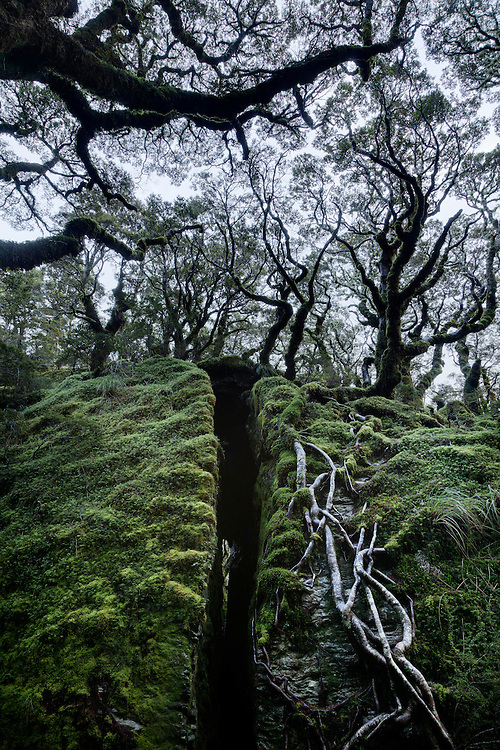 Tree roots on rock and silhouettes of beech trees on Split Rock, Lake Mackenzie, Routeburn track.