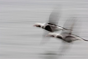 Long-tailed Ducks, Clangula hyemalis, males, Hamilton, Ontario, Canada