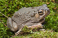 The Texas toad, Bufo speciosus, is native to Texas, north into Oklahoma, west into New Mexico and south into Mexico.