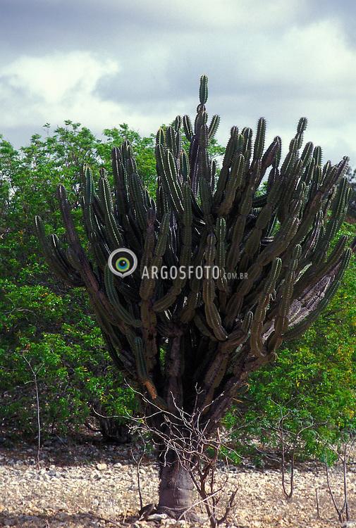 """Pernambuco, Brasil..Cactus, vegetacao tipica da caatinga. Caatinga (do Tupi: mata branca) E o unico bioma exclusivamente brasileiro, o que significa que grande parte do seu patrimonio biologico nao pode ser encontrado em nenhum outro lugar do planeta./ Cactus, typical vegetation of Caatinga. Caatinga is a type of vegetation and an ecosystem having this vegetation mainly in the northeastern part of Brazil. The name """"Caatinga"""" is a Tupi word meaning """"white forest"""" or """"white vegetation""""..Foto © Luiz Prado/Argosfoto"""