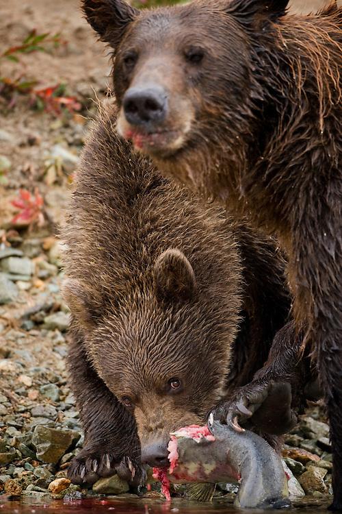 USA, Alaska, Katmai National Park, Kinak Bay, Brown Bear Cub (Ursus arctos) feeds on spawning salmon along river bank on autumn afternoon