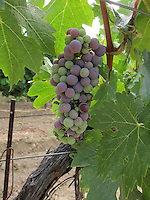 2011 July 24: Young grapes in Temecula, California